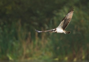 Ospreys have been spending increasing a